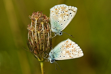 Chalk-hill Blue (Lysandra coridon) butterfly pair on Carrot (Daucus carota), Swabian Alb, Germany  -  Joke Stuurman/ NiS