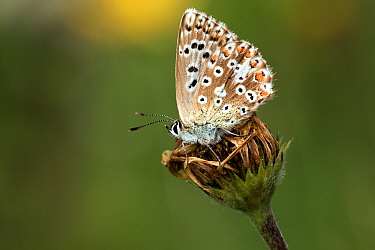 Chalk-hill Blue (Lysandra coridon) female, Swabian Alb, Germany  -  Joke Stuurman/ NiS