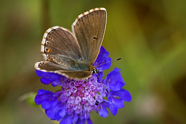 Chalk-hill Blue (Lysandra coridon) female on Field Scabious (Knautia arvensis), Swabian Alb, Germany  -  Joke Stuurman/ NiS