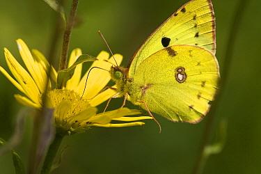 Pale Clouded Yellow (Colias hyale) butterfly on yellow flower, Swabian Alb, Germany  -  Joke Stuurman/ NiS