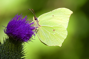 Brimstone (Gonepteryx rhamni) on thistle flower, Swabian Alb, Germany  -  Joke Stuurman/ NiS