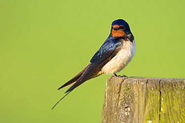Barn Swallow (Hirundo rustica) perched on a wooden pole, Netherlands  -  Winfried Wisniewski