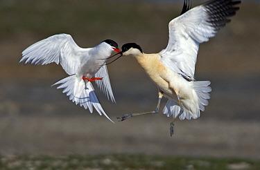 Common Tern (Sterna hirundo) fighting with Pied Avocet (Recurvirostra avosetta), Netherlands  -  Winfried Wisniewski