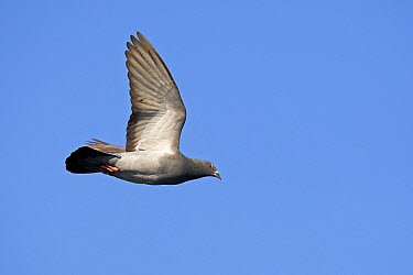 Rock Dove (Columba livia) flying, Netherlands  -  Winfried Wisniewski