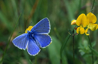 Common Blue (Polyommatus icarus) butterfly on Greater Birdfoot Trefoil (Lotus pedunculatus), Noord-Holland, Netherlands  -  Frits van Daalen/ NiS