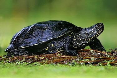 European Pond Turtle (Emys orbicularis), Poland  -  Grzegorz Lesniewski/ NIS