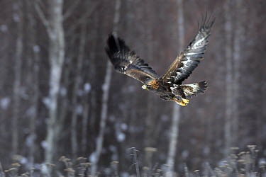 Golden Eagle (Aquila chrysaetos) flying, Carpathian Mountains, Poland  -  Grzegorz Lesniewski/ NIS