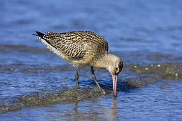 Bar-tailed Godwit (Limosa lapponica) foraging along the shoreline, IJmuiden, Noord-Holland, Netherlands  -  Jan Sleurink/ NiS