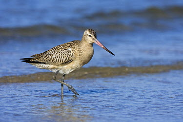 Bar-tailed Godwit (Limosa lapponica) wading along the shoreline, IJmuiden, Noord-Holland, Netherlands  -  Jan Sleurink/ NiS