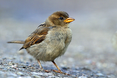 House Sparrow (Passer domesticus), Abisko, Sweden  -  Jasper Doest