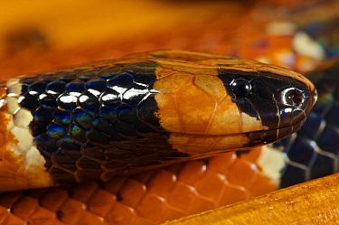 Black-banded Coral Snake (Micrurus nigrocinctus), Colon, Panama  -  James Christensen