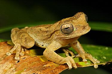 Veragua Cross-banded Treefrog (Smilisca sordida), Colon, Panama  -  James Christensen