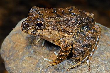 Toad-like Rain Frog (Strabomantis bufoniformis), Colon, Panama  -  James Christensen