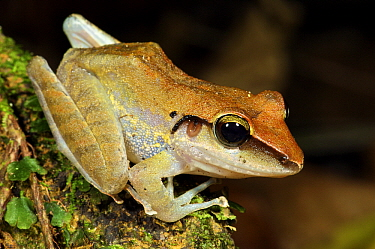 Almirante Robber Frog (Craugastor talamancae), Colon, Panama  -  James Christensen