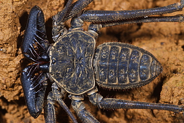 Tailless Whip Scorpion (Phrynus gervaisii) showing spiky pedipalps, Colon, Panama  -  James Christensen