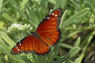 Queen Butterfly (Danaus gilippus) with wings opened, Grand Cayman, Cayman Islands, Caribbean  -  Philip Friskorn/ NiS