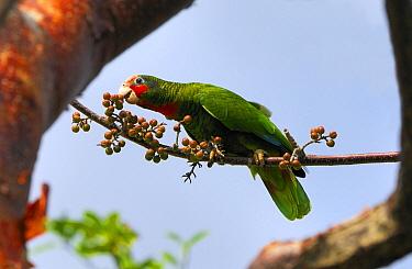 Cuban Parrot (Amazona leucocephala) feeding on Gumbo Limbo (Bursera simaruba) fruit, Grand Cayman, Cayman Islands, Caribbean  -  Philip Friskorn/ NiS