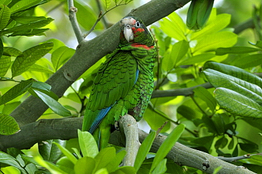 Cuban Parrot (Amazona leucocephala) perched in Pomerac (Syzygium malaccense), Grand Cayman, Cayman Islands, Caribbean  -  Philip Friskorn/ NiS