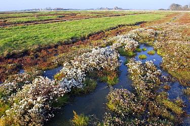 Sea Aster (Aster tripolium) in brackish marsh, Zeeland, Netherlands  -  Jan Vink/ NiS