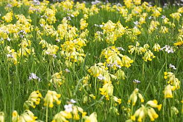 Oxlip (Primula elatior) flowers, Gerolstein, Germany  -  Jan Vink/ NiS