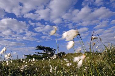 Cottongrass (Eriophorum angustifolium) in field, Netherlands  -  Jan Vink/ NiS