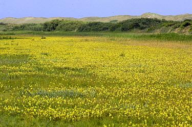 Greater Yellowrattle (Rhinanthus angustifolius) field, Netherlands  -  Jan Vink/ NiS