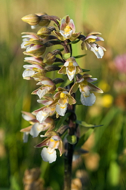 Marsh Helleborine (Epipactis palustris) flowering, Netherlands  -  Jan Vink/ NiS