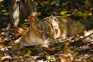 Fossa (Cryptoprocta ferox) laying on forest floor, Kirindy Forest, Madagascar  -  Vincent Grafhorst