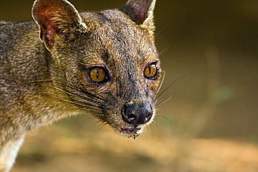 Fossa (Cryptoprocta ferox), Kirindy Forest, Madagascar  -  Vincent Grafhorst