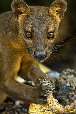 Fossa (Cryptoprocta ferox) eating from rubbish basket, Kirindy Forest, Madagascar  -  Vincent Grafhorst