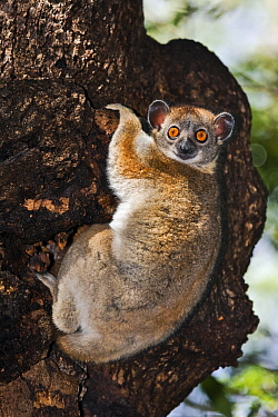 Red-tailed Sportive Lemur (Lepilemur ruficaudatus) clinging to tree, Kirindy Forest, Madagascar  -  Vincent Grafhorst