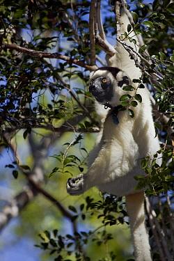 Verreaux's Sifaka (Propithecus verreauxi) hanging in tree, Kirindy Forest, Madagascar  -  Vincent Grafhorst