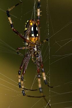 Banana Spider (Nephila clavipes) in web, Kirindy Forest, Madagascar  -  Vincent Grafhorst