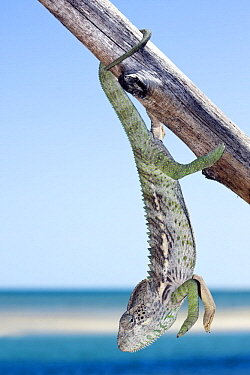 Spiny Chameleon (Chamaeleo verrucosus) hanging on a wooden fence with the sea in the background, Belo sur Mer, Madagascar  -  Vincent Grafhorst