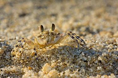 Ghost Crab (Ocypode quadrata) on beach, Belo sur Mer, Madagascar  -  Vincent Grafhorst