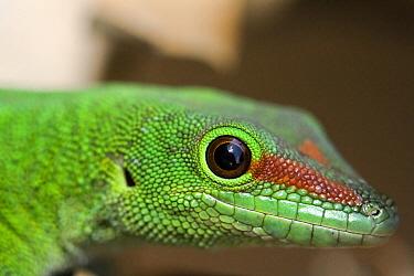 Madagascar Day Gecko (Phelsuma madagascariensis), Marozevo, Madagascar  -  Vincent Grafhorst