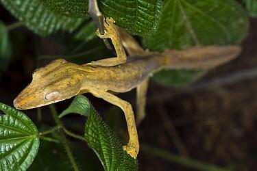 Lined Flat-tail Gecko (Uroplatus lineatus), Marozevo, Madagascar  -  Vincent Grafhorst