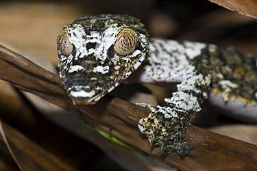 Common Flat-tail Gecko (Uroplatus fimbriatus), Marozevo, Madagascar  -  Vincent Grafhorst