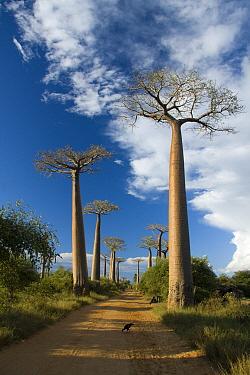 Grandidier's Baobab (Adansonia grandidieri) on Avenue of the Baobabs, Morondava, Madagascar  -  Vincent Grafhorst