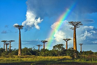 Grandidier's Baobab (Adansonia grandidieri) under rainbow, Morondava, Madagascar  -  Vincent Grafhorst