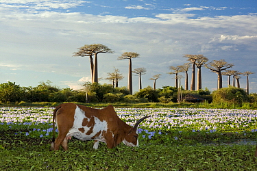 Domestic Cattle (Bos taurus) grazing at the Avenue of the Baobabs, Morondava, Madagascar  -  Vincent Grafhorst