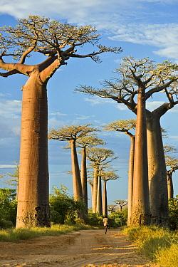 Grandidier's Baobab (Adansonia grandidieri) in famous Avenue of the Baobabs, Morondava, Madagascar  -  Vincent Grafhorst