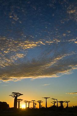 Grandidier's Baobab (Adansonia grandidieri) trees in Avenue of the Baobabs at sunset, Morondava, Madagascar  -  Vincent Grafhorst