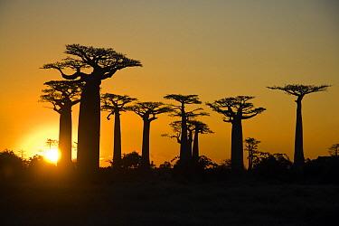 Grandidier's Baobab (Adansonia grandidieri) in Avenue of the Baobabs at sunset, Morondava, Madagascar  -  Vincent Grafhorst