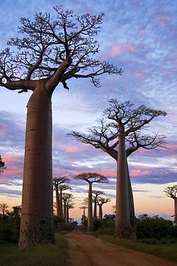 Grandidier's Baobab (Adansonia grandidieri) trees in famous Avenue of the Baobabs, Morondava, Madagascar  -  Vincent Grafhorst