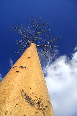 Grandidier's Baobab (Adansonia grandidieri) at the Avenue of the Baobabs, Morondava, Madagascar  -  Vincent Grafhorst