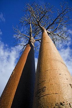 Grandidier's Baobab (Adansonia grandidieri) pair at the Avenue of the Baobabs, Morondava, Madagascar  -  Vincent Grafhorst