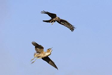 Northern Harrier (Circus cyaneus) being chased by Great Bittern (Botaurus stellaris), Netherlands  -  Steven Ruiter/ NIS