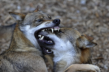 Gray Wolf (Canis lupus) biting snout of submissive individual, Czech Republic  -  Steven Ruiter/ NIS