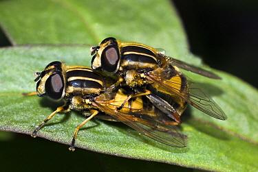 Hoverfly (Helophilus pendulus) pair mating, Netherlands  -  Jef Meul/ NIS